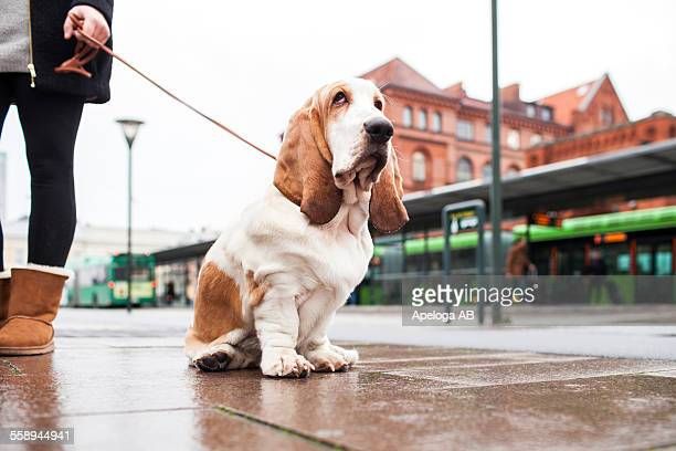low section of woman holding leash of basset hound on sidewalk - basset hound stock pictures, royalty-free photos & images