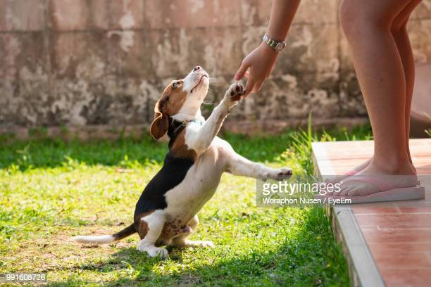 low section of woman holding puppy paw rearing up in yard - paw stock pictures, royalty-free photos & images