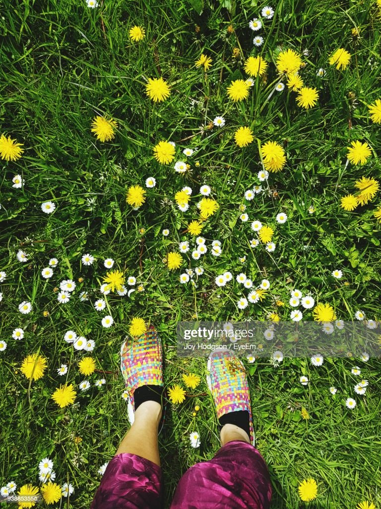 Low Section Of Woman Standing Amidst Yellow Flowers On Grass Stock