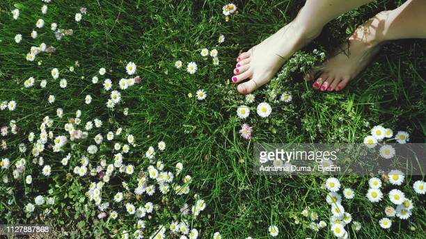 Low Section Of Woman Standing By Daisies Blooming On Grassy Field