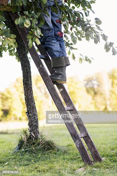 Low section of woman standing on ladder by peach tree in orchard