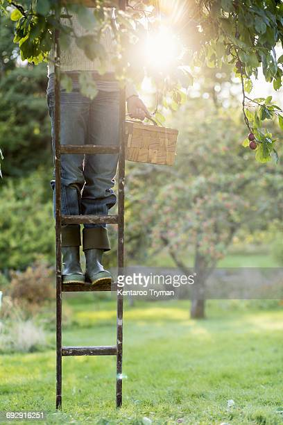 Low section of woman standing on ladder in peach orchard