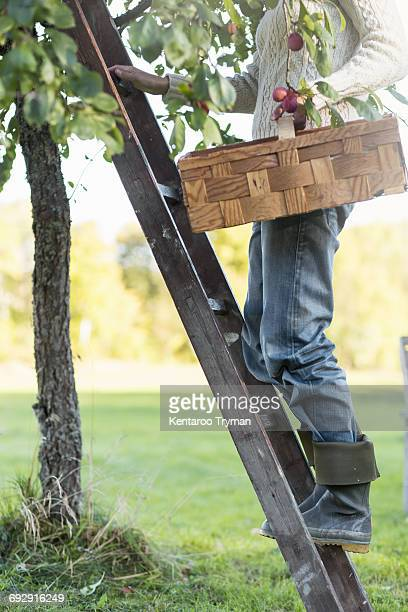 Low section of woman standing on ladder with basket by peach tree in orchard