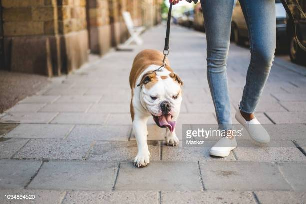 low section of woman walking with english bulldog on sidewalk - dog stock pictures, royalty-free photos & images