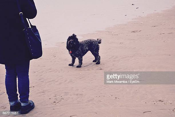 low section of woman with dog standing on sand - camber sands stock photos and pictures