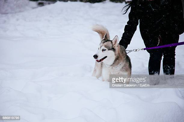 Low Section Of Woman With Siberian Husky Walking On Snow Covered Field