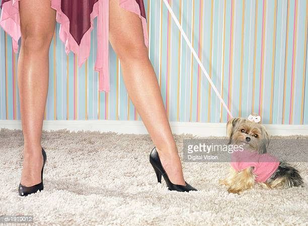 low section shot of a woman standing next to a yorkshire terrier wearing a jumper - dog knotted in woman stock pictures, royalty-free photos & images