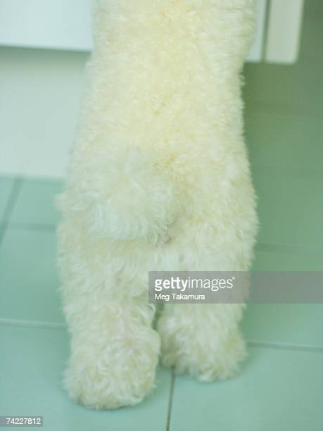 low section view of a miniature poodle - barboncino nano foto e immagini stock