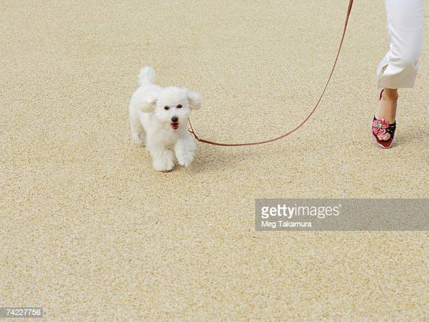 Low section view of a person walking with a miniature poodle
