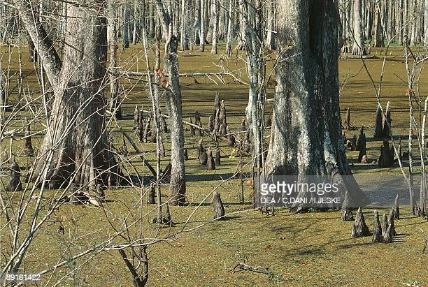 Low section view of bald cypress trees