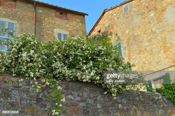 Low view of brick wall with large, lush white flower bush and 2 houses with stone walls behind