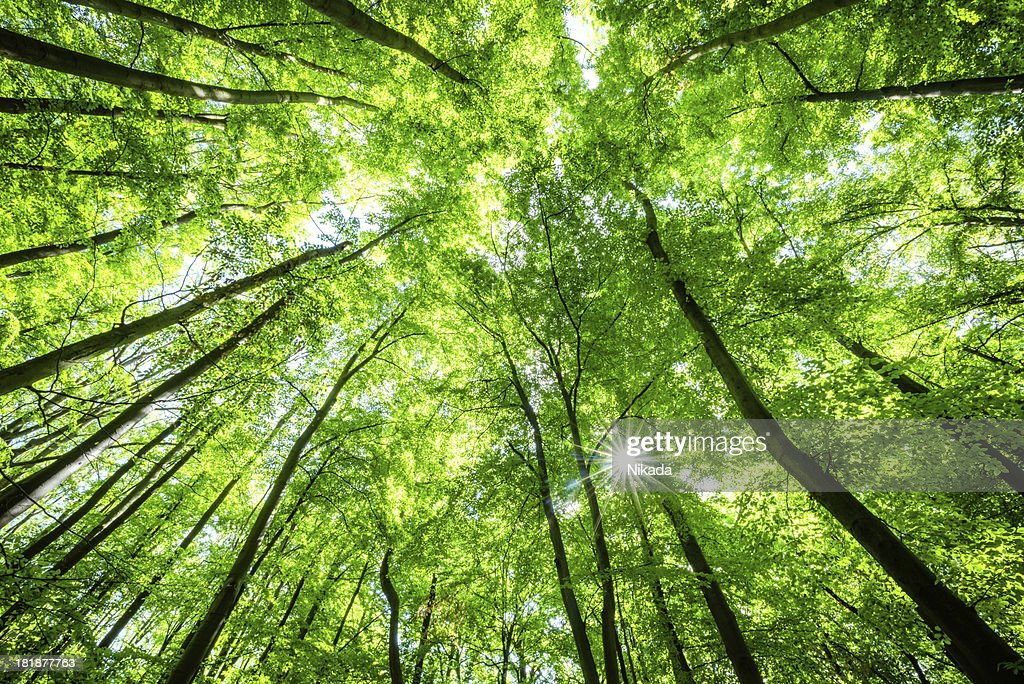 Low-angle shot of beech tree forest