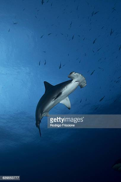 Low-angle view of Hammerhead Shark (Sphyrna Lewini) swimming
