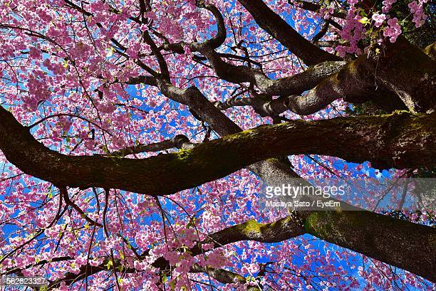 low-angle view of tree with pink blossom - maebashi city stock photos and pictures