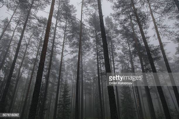 low-angle view on mysterious pine forest in lahemaa national park in estonia - harjumaa stock pictures, royalty-free photos & images