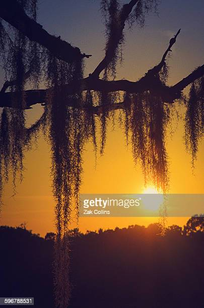 lowcountry sunset - spanish moss stock pictures, royalty-free photos & images