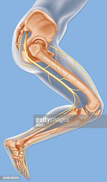 Lower Limb Nerve Drawing Illustration of the nerves of the lower limb from an external side view