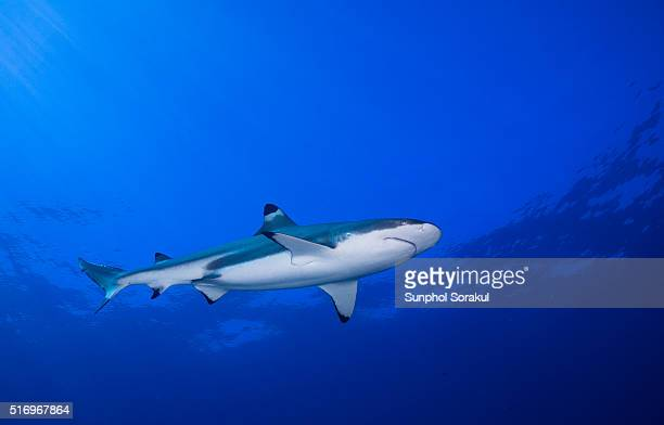 A lower view of Juvenile skinny Blacktip Reef Shark in mid blue water