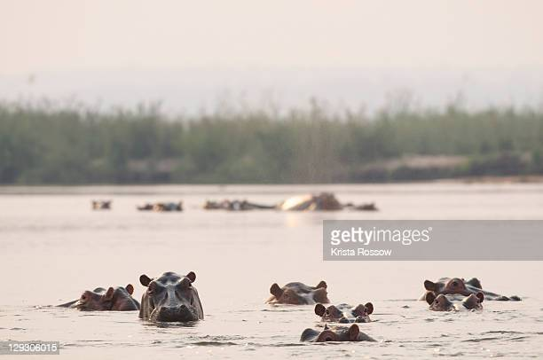 Hippos watch while immersed in the Zambezi River.