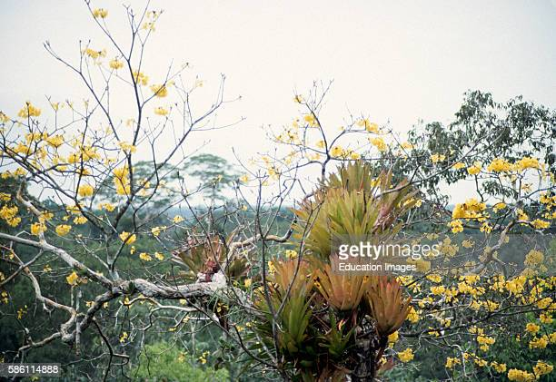 Lowland canopy bromeliads in Tababuia sp. Tree. Sucusari River region . Peruvian Amazon Bromeliaceae.
