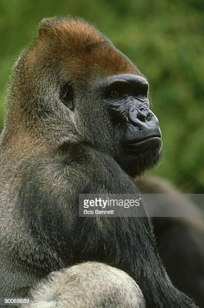 lowland gorilla, gorilla gorilla, africa