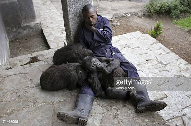 Lowland gorilla orphans and gorilla caregiver Jean Paul Baryanagamba nap July 18, 2006 at the Diane Fossey gorilla center in Goma, in the eastern...