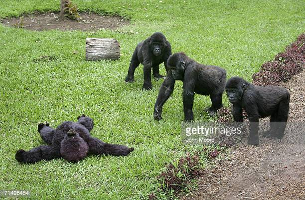 Lowland gorilla orphans approach a stuffed toy ape July 18 2006 at the Diane Fossey gorilla center in Goma in the eastern Democratic Republic of...