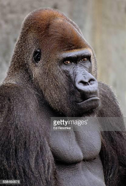 Lowland Gorilla, Silverback Male