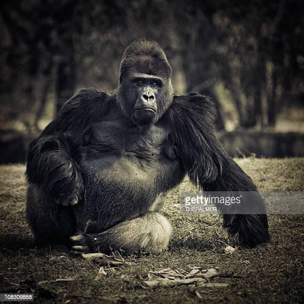 Plata-back gorila de las llanuras