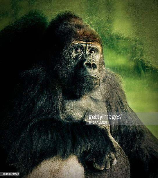 lowland silver-back gorilla