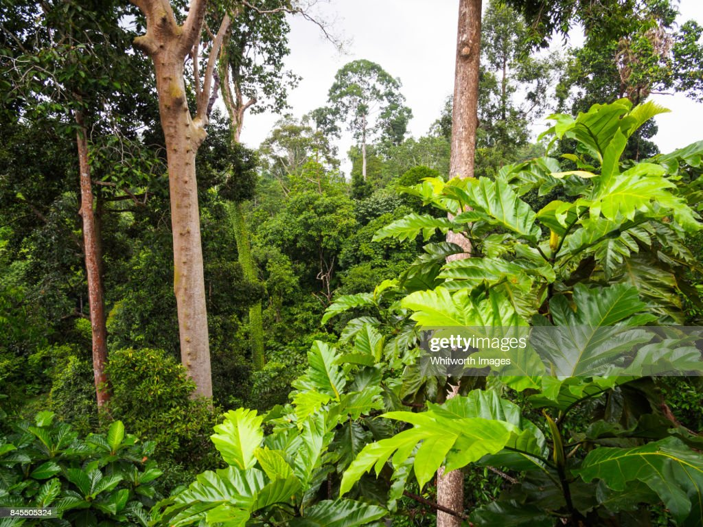 Similar images & Walkway Through Lowland Tropical Rainforest Canopy Sabah Borneo ...
