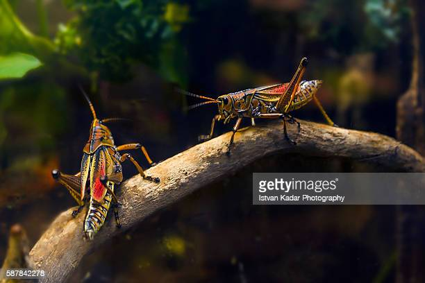 lubber grasshopper (romalea microptera) - cavalletta foto e immagini stock