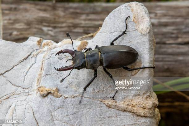 lucanus cervus - horned beetle stock pictures, royalty-free photos & images