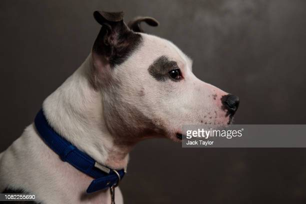 Lucas a six yearold Staffordshire Bull Terrier is pictured in a kennel at Battersea Dogs and Cats Home where it has lived for 90 days on December 13...