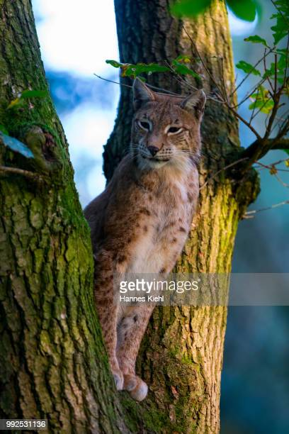 luchs im baum - baum stock pictures, royalty-free photos & images