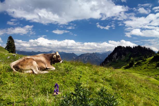 lucky alpine cow in lechtal alps