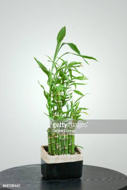 lucky bamboo - bamboo plant stock photos and pictures