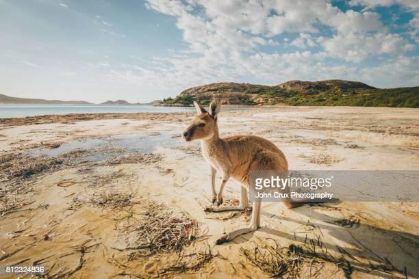 lucky bay kangaroo Australia