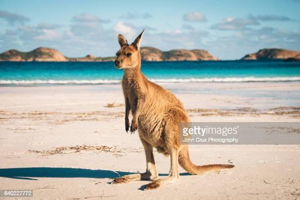 Lucky Bay Kangaroo in Esperance