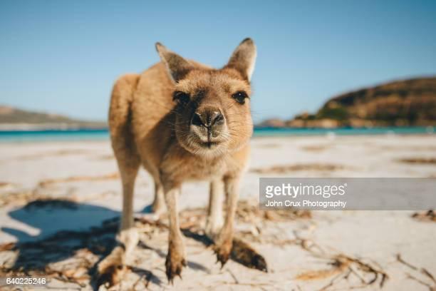 Lucky Bay Kangaroo