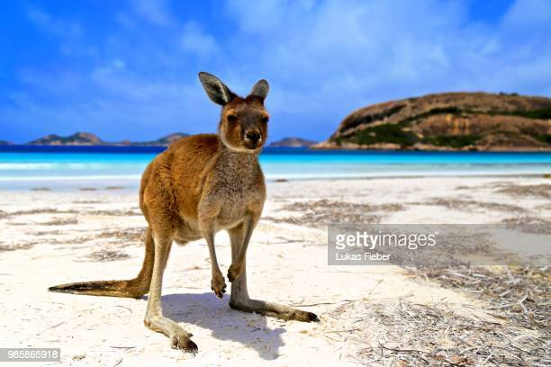 lucky bay - kangaroo stock pictures, royalty-free photos & images