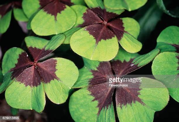Lucky clover Oxalis tetraphylla 'Iron Cross'