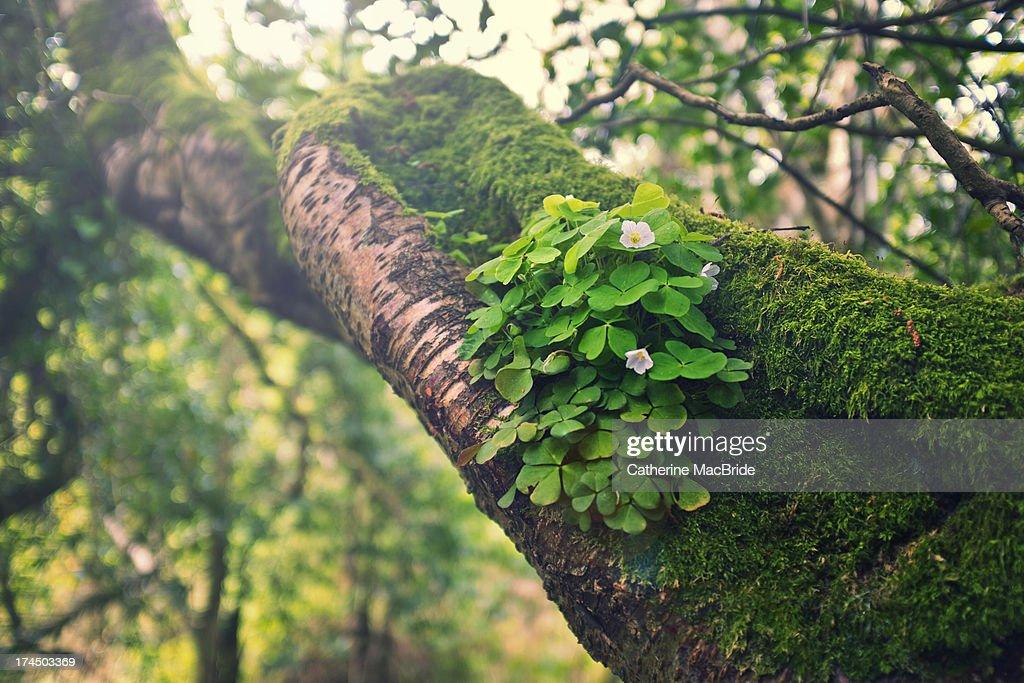 Lucky clover :) : Stock Photo
