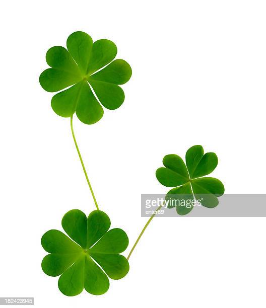 Lucky clovers Isolated on white background