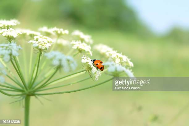 a lucky flower - seven spot ladybird stock pictures, royalty-free photos & images