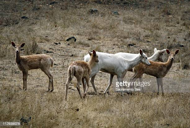 Lucky visitors to the Ridgewood Ranch in Willits might see this herd of rare Fallow deer, a gift to Charles Howard from William Randolph Hearst in...