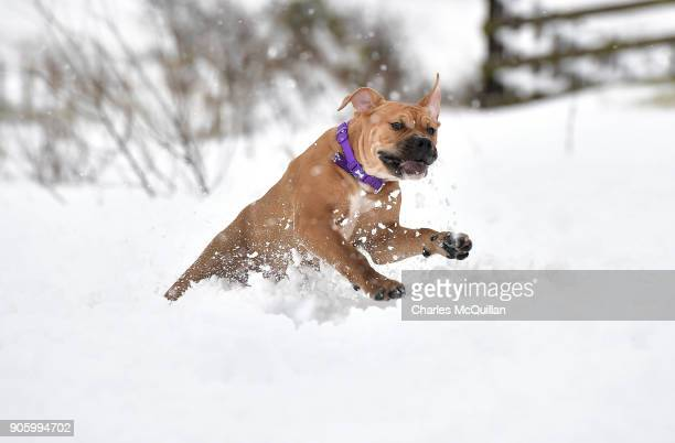 Lucy a Bull Mastiff enjoys the snow drifts on Divis mountain on January 17 2018 in Belfast Northern Ireland The Met Office has placed an amber...