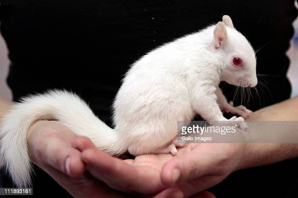 Lucy an albino squirrel in the care of 'The World of Birds' on 7 April 2011in Hout Bay South Africa