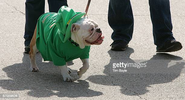 Lucy an English Bulldog marches in the St Patrick's Day parade March 11 2006 in Chicago Illinois This is Chicago's 51st annual St Patrick's Day parade