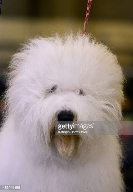 'Lucy' an Old English Sheepdog waits patiently to be groomed The Colorado Kennel Club hosts The Rocky Mountain Cluster dog show at the National...